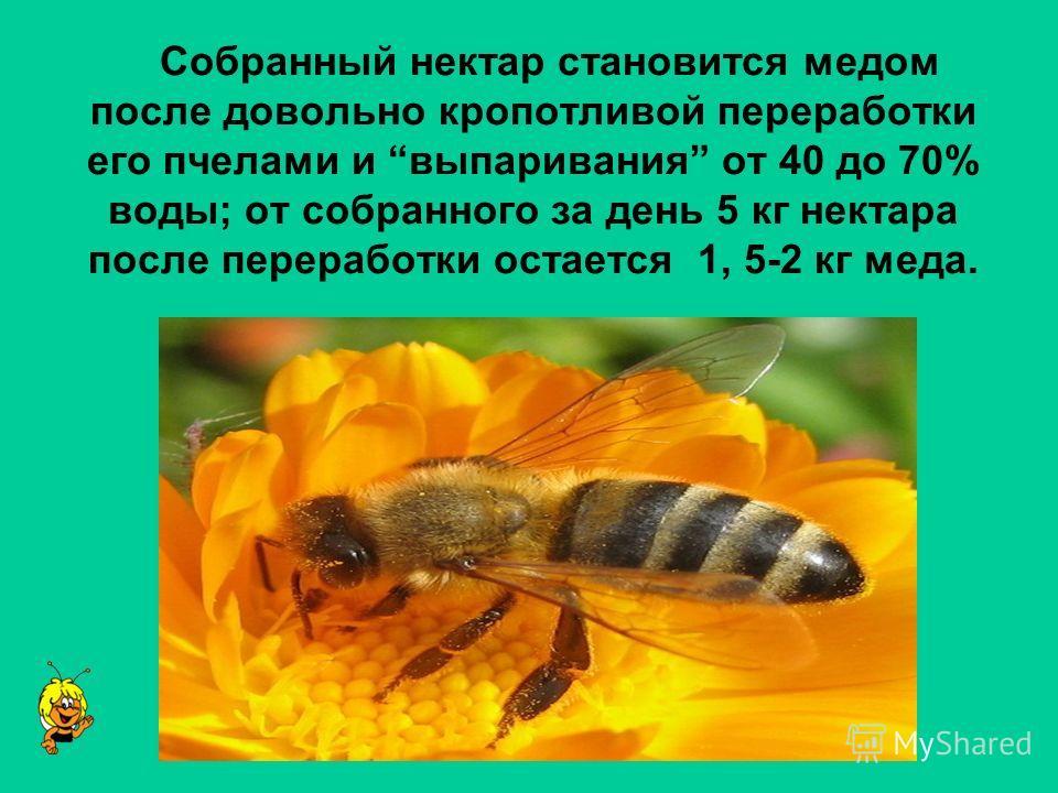 Cобранный нектар становится медом после довольно кропотливой переработки его пчелами и выпаривания от 40 до 70% воды; от собранного за день 5 кг нектара после переработки остается 1, 5-2 кг меда.