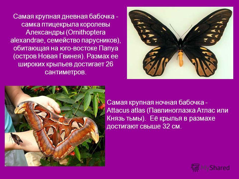 Самая крупная дневная бабочка - самка птицекрыла королевы Александры (Ornithoptera alexandrae, семейство парусников), обитающая на юго-востоке Папуа (остров Новая Гвинея). Размах ее широких крыльев достигает 26 сантиметров. Самая крупная ночная бабоч