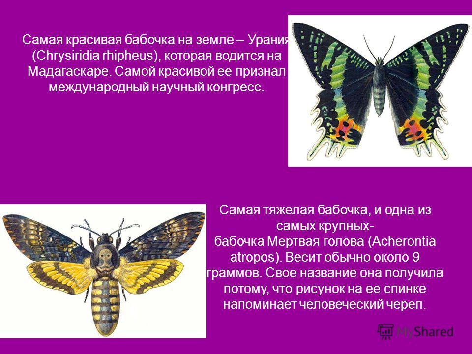 Самая красивая бабочка на земле – Урания (Chrysiridia rhipheus), которая водится на Мадагаскаре. Самой красивой ее признал международный научный конгресс. Самая тяжелая бабочка, и одна из самых крупных- бабочка Мертвая голова (Acherontia atropos). Ве