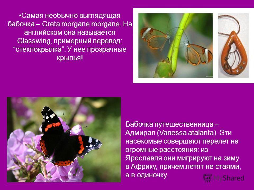 Самая необычно выглядящая бабочка – Greta morgane morgane. На английском она называется Glasswing, примерный перевод: стеклокрылка. У нее прозрачные крылья! Бабочка путешественница – Адмирал (Vanessa atalanta). Эти насекомые совершают перелет на огро