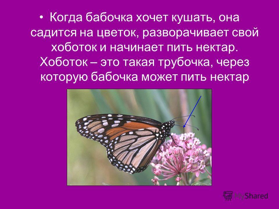 Когда бабочка хочет кушать, она садится на цветок, разворачивает свой хоботок и начинает пить нектар. Хоботок – это такая трубочка, через которую бабочка может пить нектар