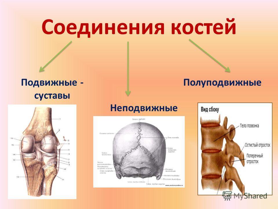 Соединения костей Подвижные - суставы Полуподвижные Неподвижные