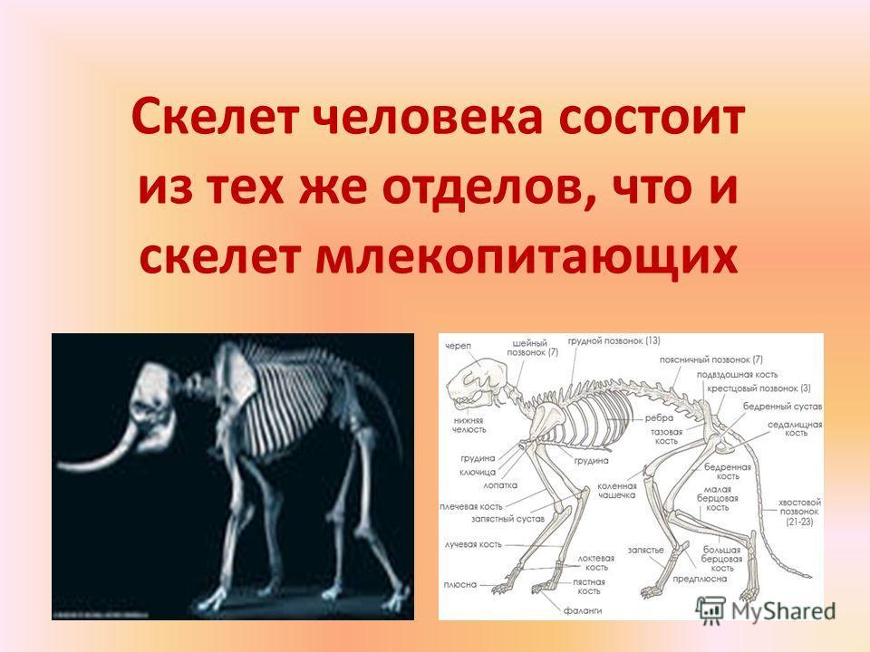 Скелет человека состоит из тех же отделов, что и скелет млекопитающих