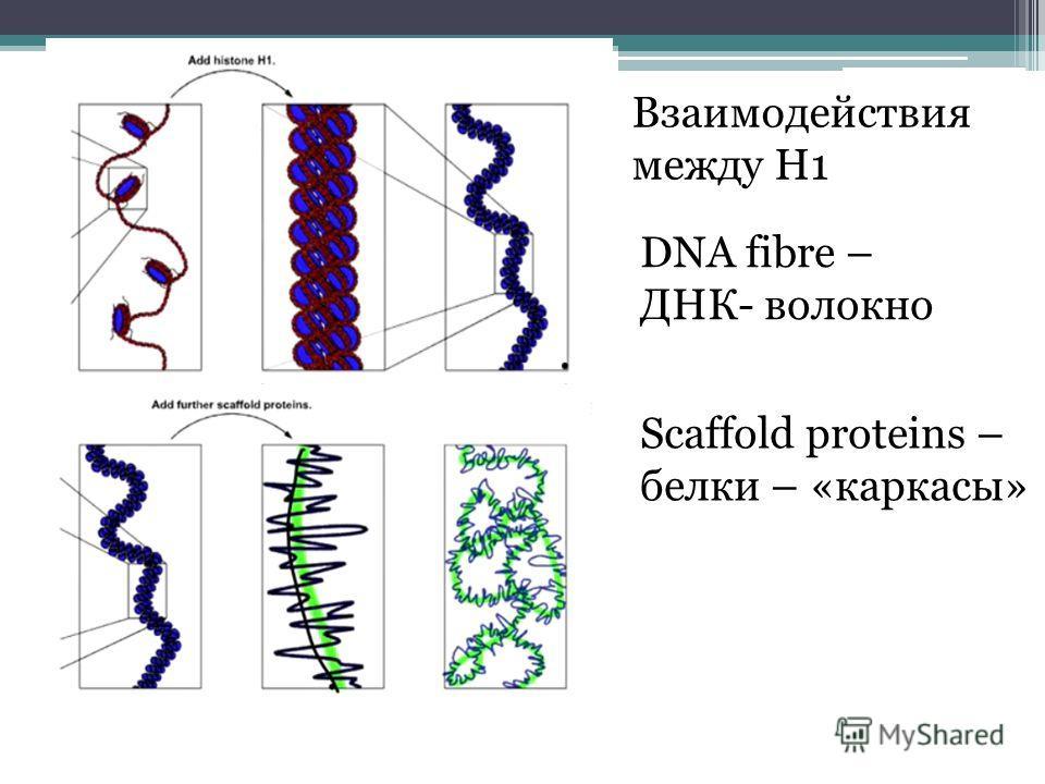 Взаимодействия между H1 DNA fibre – ДНК- волокно Scaffold proteins – белки – «каркасы»