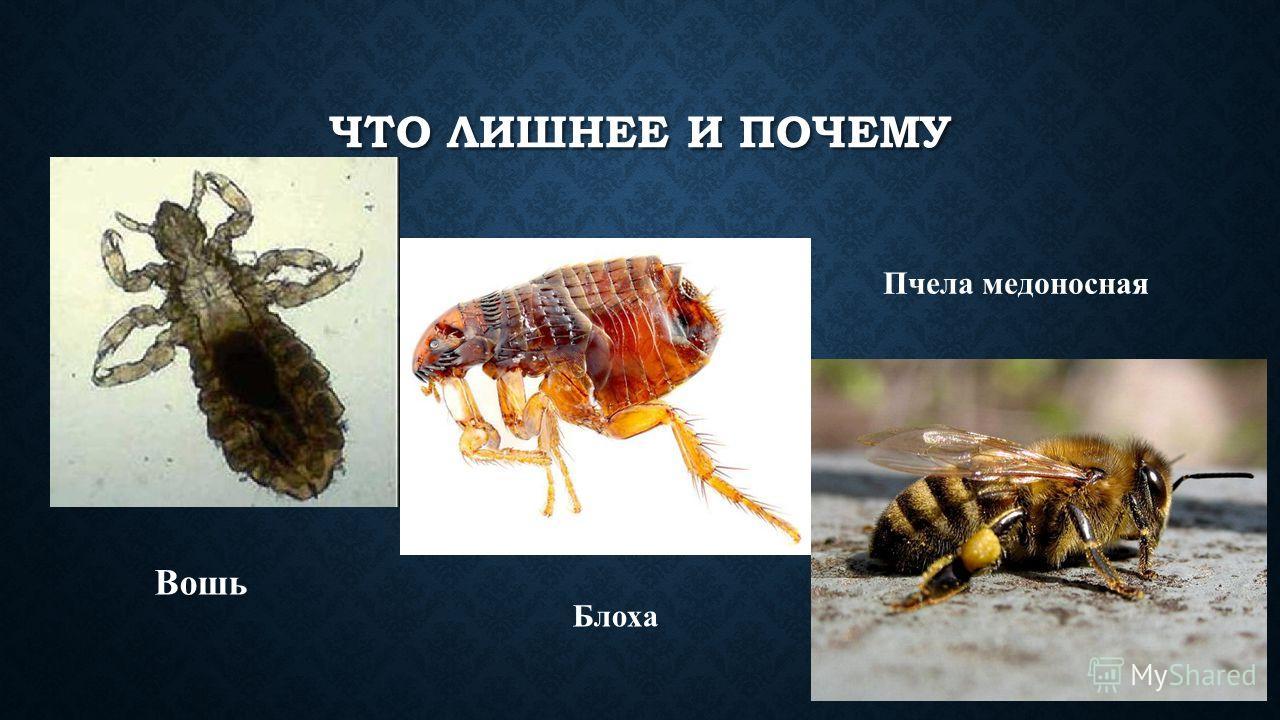 ЧТО ЛИШНЕЕ И ПОЧЕМУ Вошь Блоха Пчела медоносная