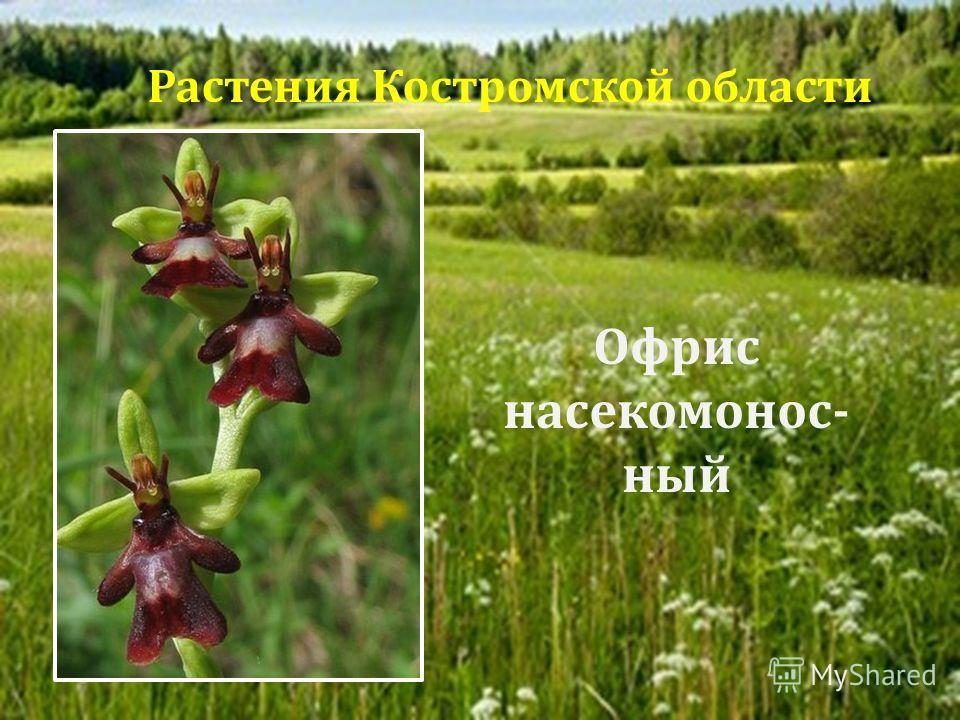 Офрис насекомонос - ный Растения Костромской области