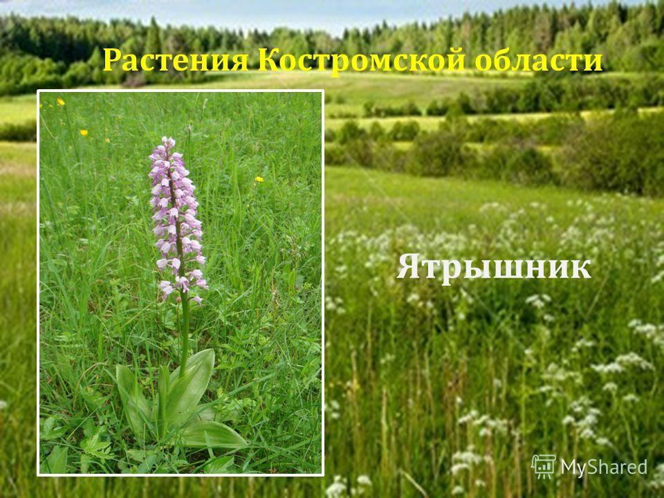 Ятрышник Растения Костромской области