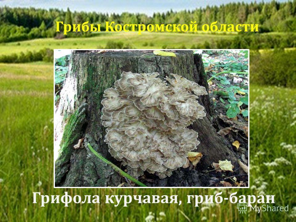 Грифола курчавая, гриб - баран Грибы Костромской области