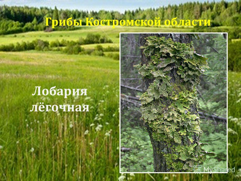 Лобария лёгочная Грибы Костромской области