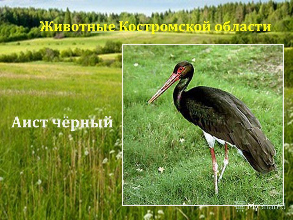 Аист чёрный Животные Костромской области