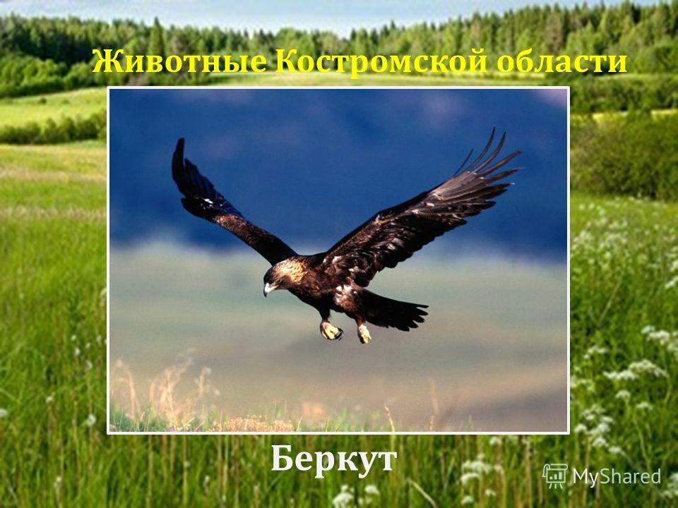 Беркут Животные Костромской области