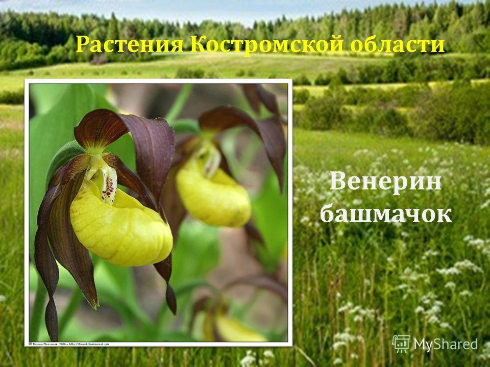 Венерин башмачок Растения Костромской области
