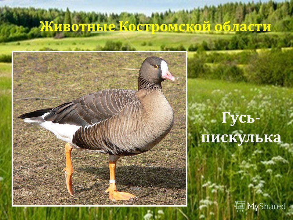 Гусь - пискулька Животные Костромской области