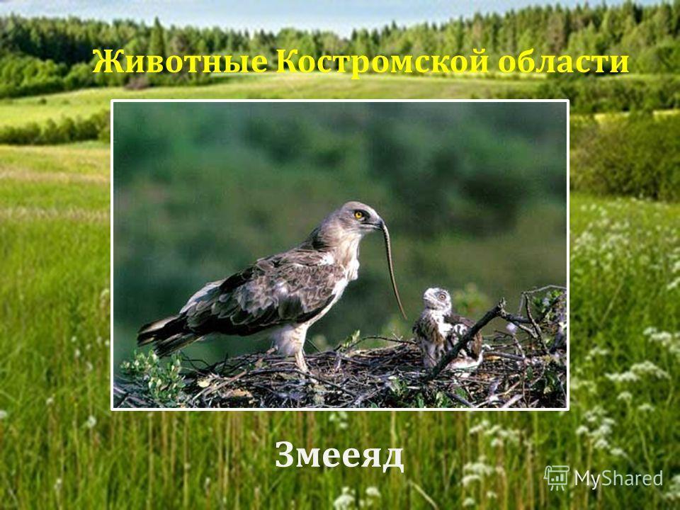Змееяд Животные Костромской области