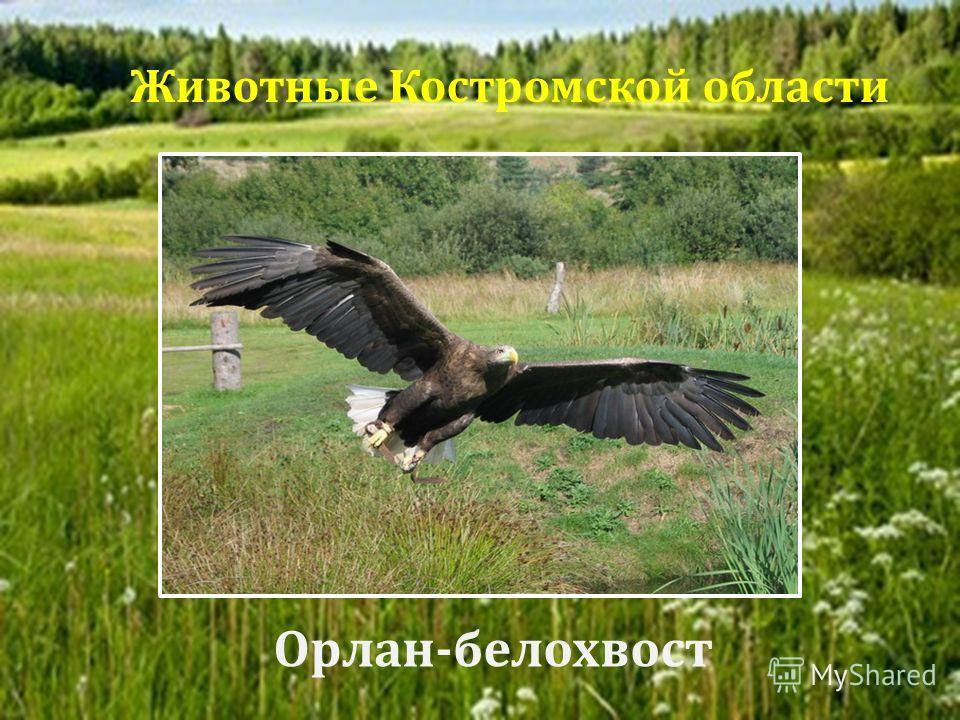 Орлан - белохвост Животные Костромской области