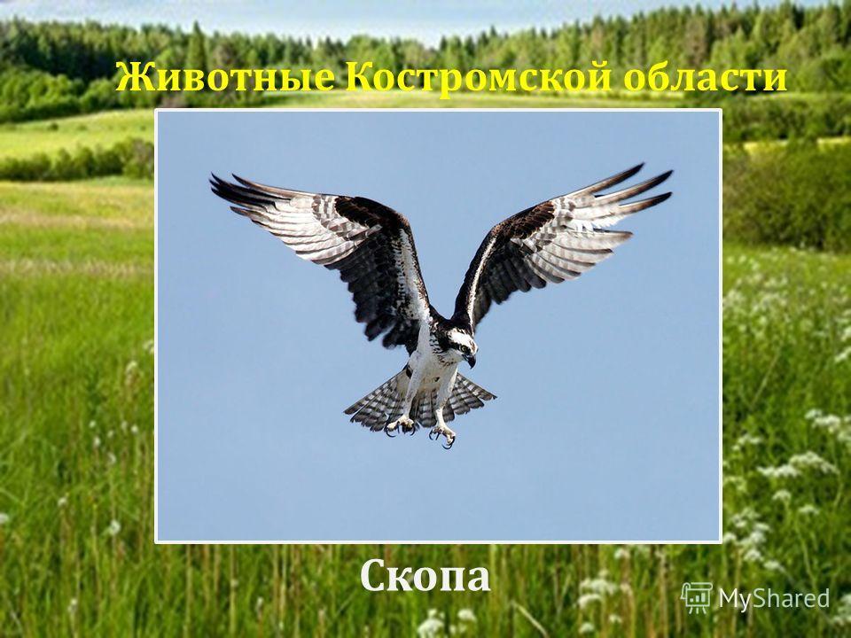 Скопа Животные Костромской области