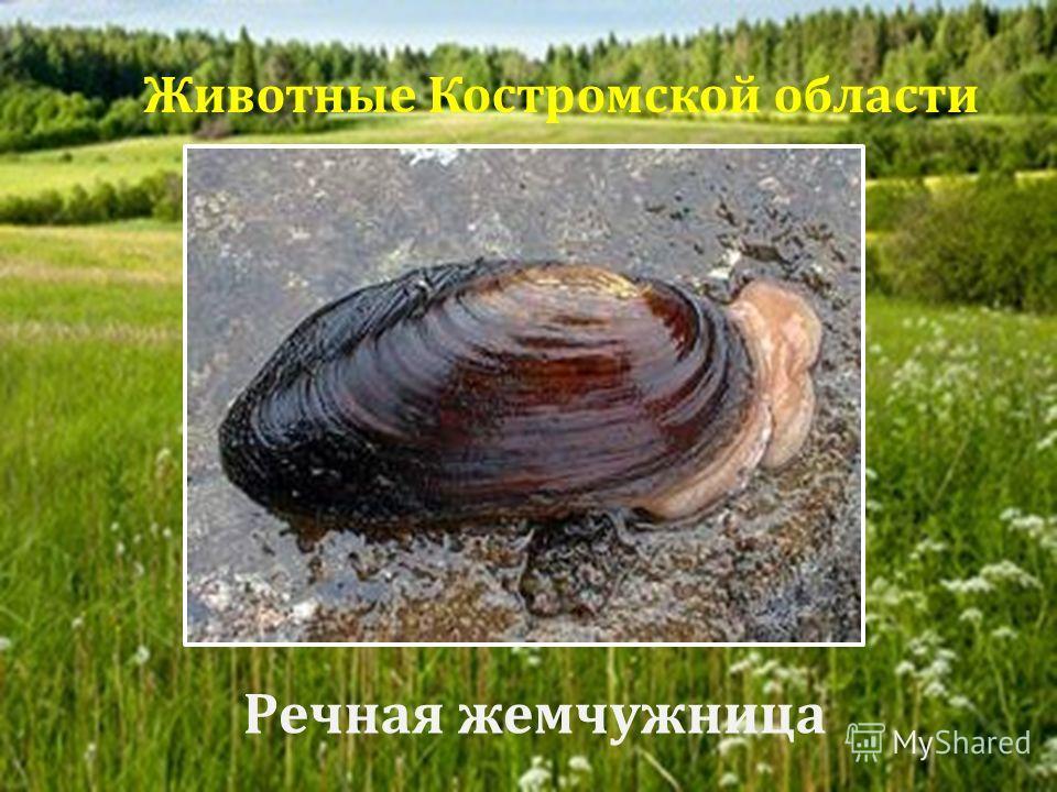 Речная жемчужница Животные Костромской области