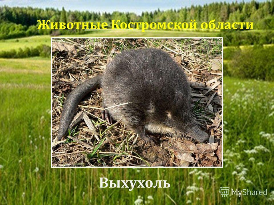Выхухоль Животные Костромской области