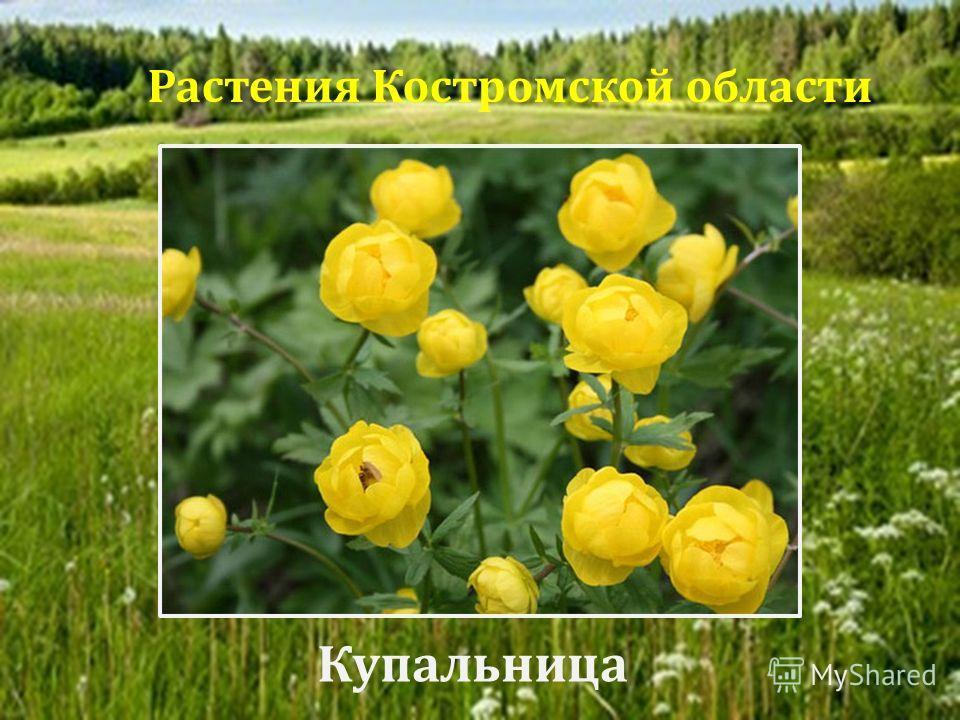 Купальница Растения Костромской области