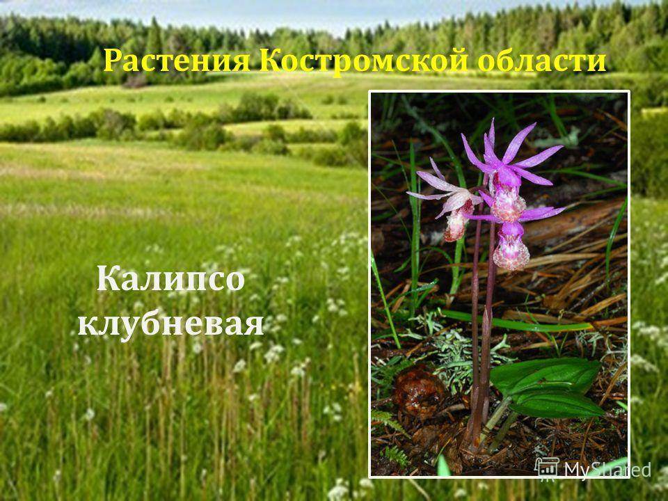 Калипсо клубневая Растения Костромской области