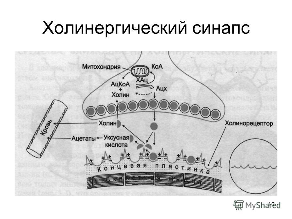 10 Холинергический синапс