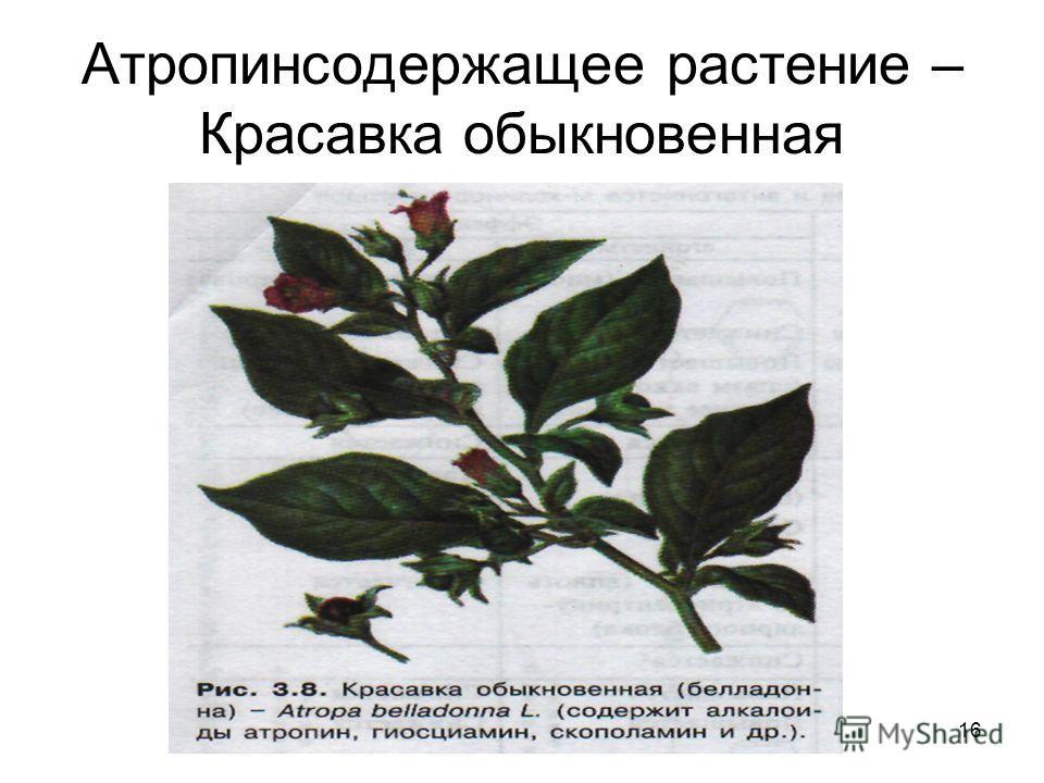 16 Атропинсодержащее растение – Красавка обыкновенная
