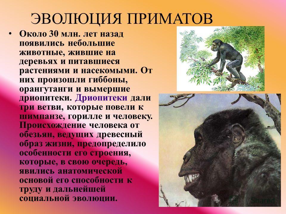 ЭВОЛЮЦИЯ ПРИМАТОВ Около 30 млн. лет назад появились небольшие животные, жившие на деревьях и питавшиеся растениями и насекомыми. От них произошли гиббоны, орангутанги и вымершие дриопитеки. Дриопитеки дали три ветви, которые повели к шимпанзе, горилл