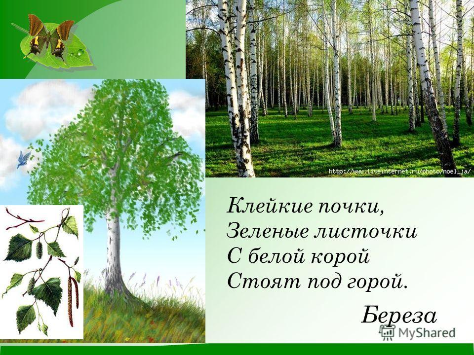 Береза Клейкие почки, Зеленые листочки С белой корой Стоят под горой.