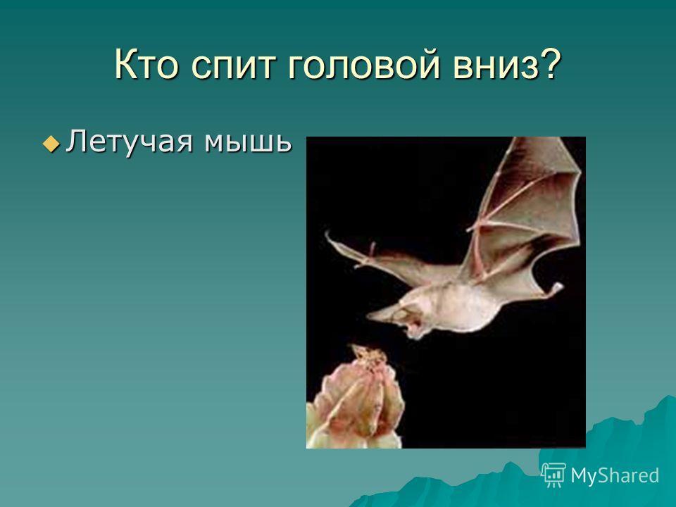 Кто спит головой вниз? Летучая мышь Летучая мышь