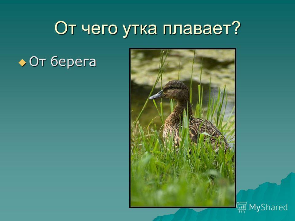 От чего утка плавает? От берега От берега