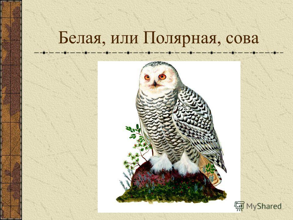 Белая, или Полярная, сова