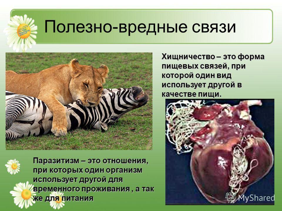 Полезно-вредные связи Хищничество – это форма пищевых связей, при которой один вид использует другой в качестве пищи. Паразитизм – это отношения, при которых один организм использует другой для временного проживания, а так же для питания