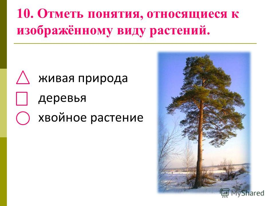 10. Отметь понятия, относящиеся к изображённому виду растений. живая природа деревья хвойное растение