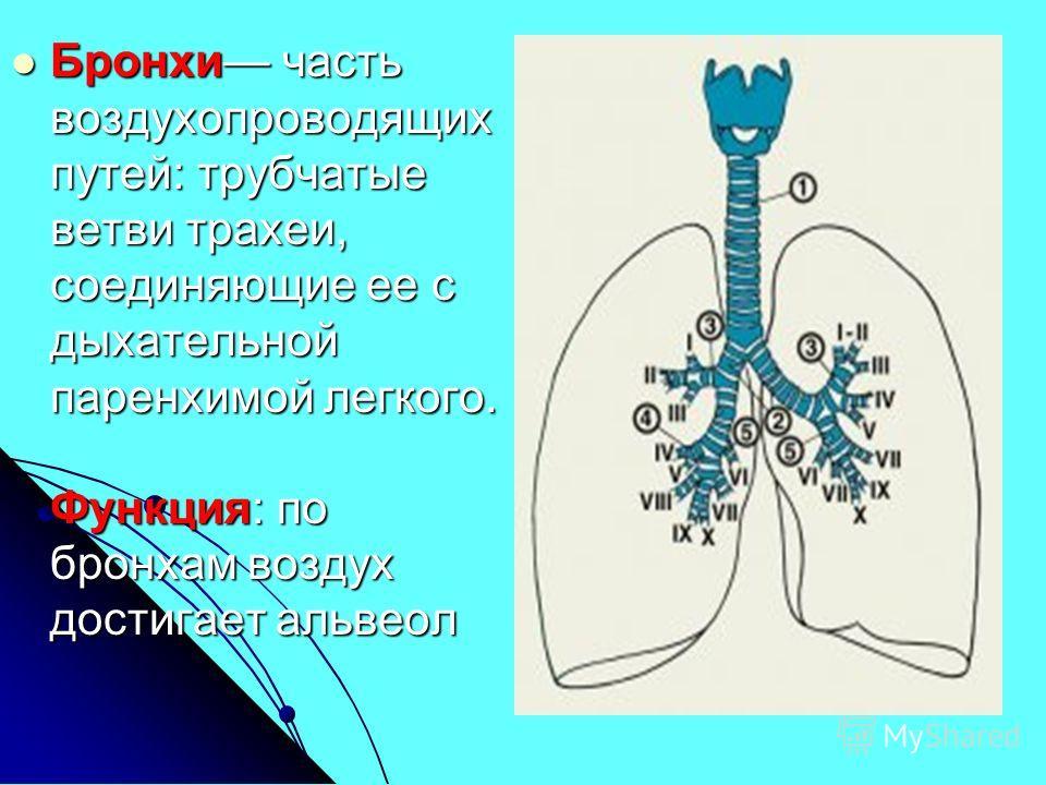 Бронхи часть воздухопроводящих путей: трубчатые ветви трахеи, соединяющие ее с дыхательной паренхимой легкого. Функция: по бронхам воздух достигает альвеол Бронхи часть воздухопроводящих путей: трубчатые ветви трахеи, соединяющие ее с дыхательной пар