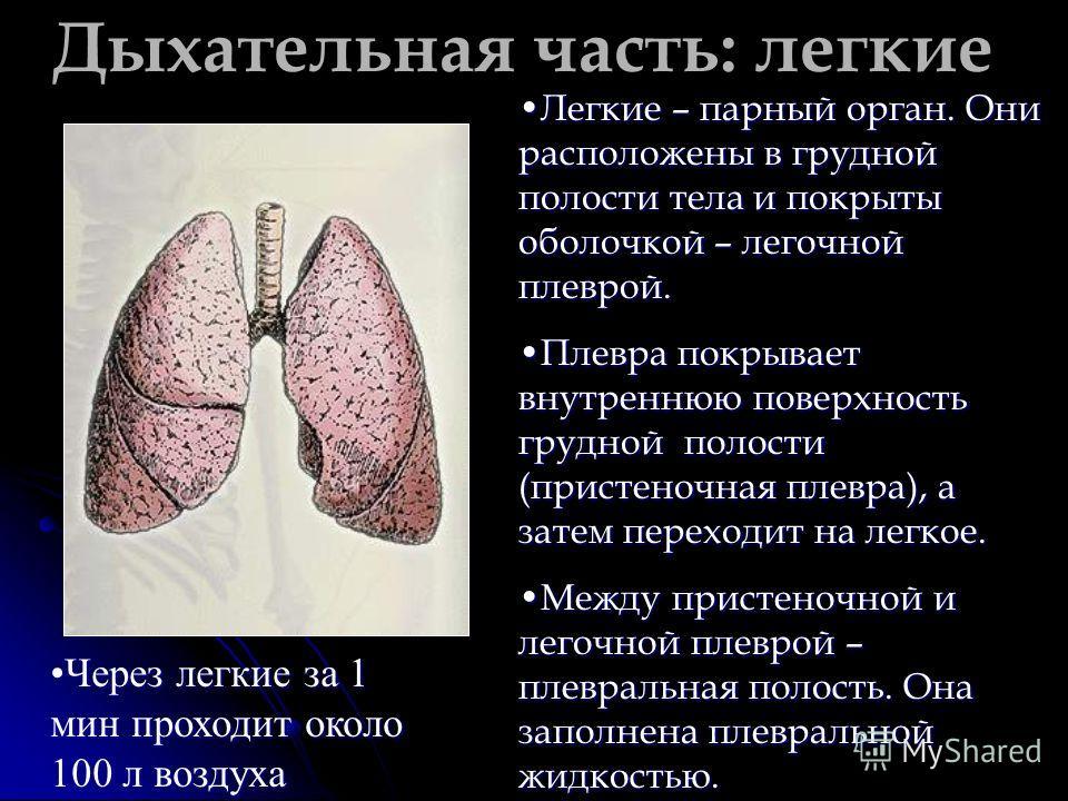 Дыхательная часть: легкие Легкие – парный орган. Они расположены в грудной полости тела и покрыты оболочкой – легочной плеврой.Легкие – парный орган. Они расположены в грудной полости тела и покрыты оболочкой – легочной плеврой. Плевра покрывает внут
