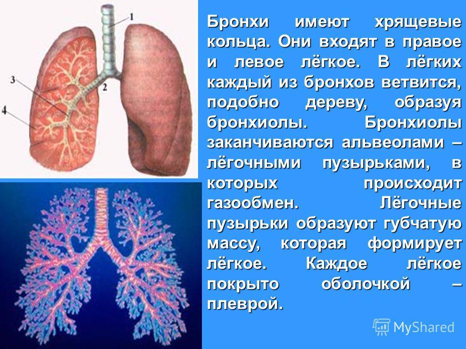 Бронхи имеют хрящевые кольца. Они входят в правое и левое лёгкое. В лёгких каждый из бронхов ветвится, подобно дереву, образуя бронхиолы. Бронхиолы заканчиваются альвеолами – лёгочными пузырьками, в которых происходит газообмен. Лёгочные пузырьки обр
