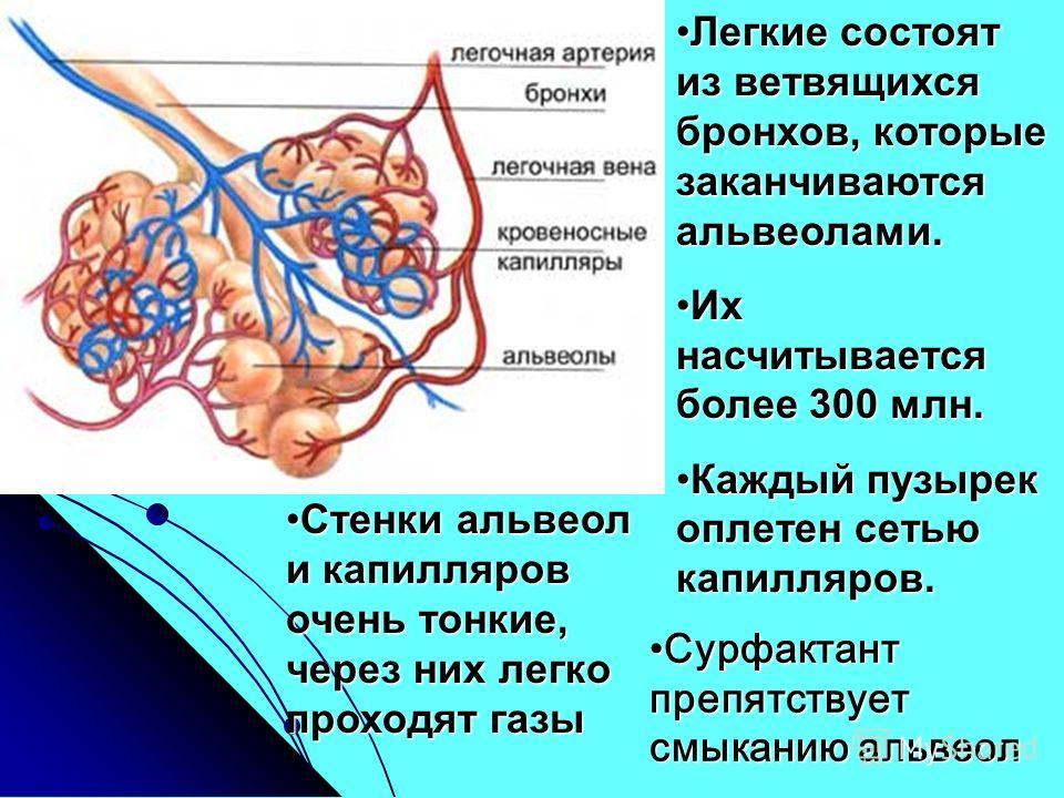 Легкие состоят из ветвящихся бронхов, которые заканчиваются альвеолами.Легкие состоят из ветвящихся бронхов, которые заканчиваются альвеолами. Их насчитывается более 300 млн.Их насчитывается более 300 млн. Каждый пузырек оплетен сетью капилляров.Кажд