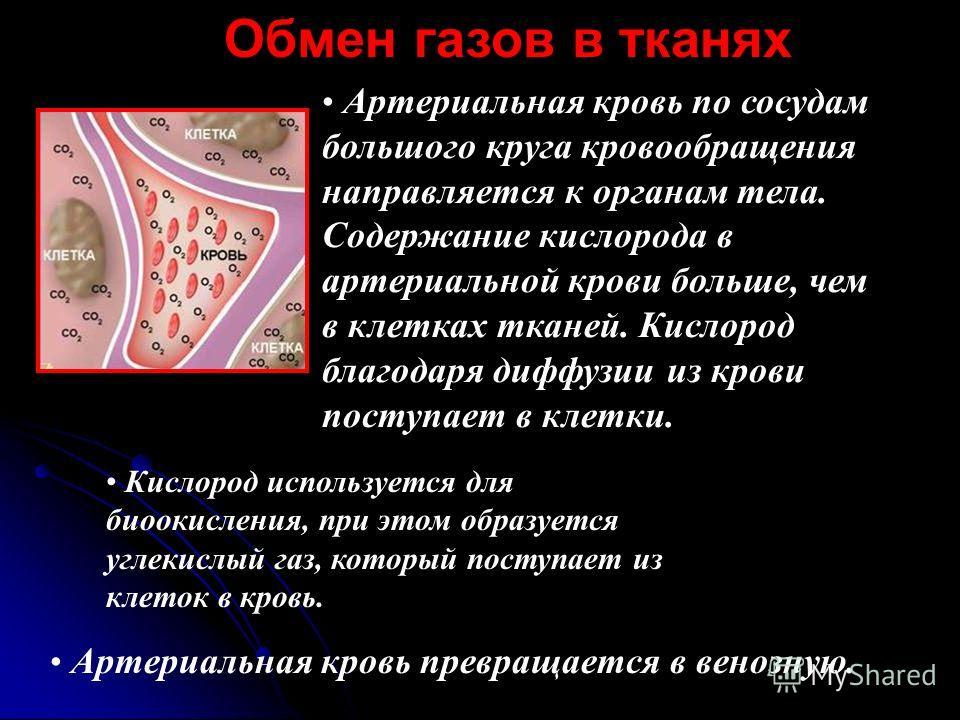 Артериальная кровь по сосудам большого круга кровообращения направляется к органам тела. Содержание кислорода в артериальной крови больше, чем в клетках тканей. Кислород благодаря диффузии из крови поступает в клетки. Артериальная кровь превращается