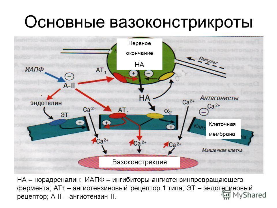 Основные вазоконстрикроты Вазоконстрикция Клеточная мембрана Нервное окончание НА НА – норадреналин; ИАПФ – ингибиторы ангиотензинпревращающего фермента; АТ 1 – ангиотензиновый рецептор 1 типа; ЭТ – эндотелиновый рецептор; А-II – ангиотензин II.