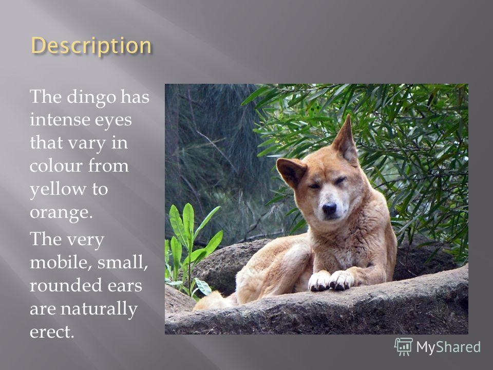 Description The dingo has intense eyes that vary in colour from yellow to orange. The very mobile, small, rounded ears are naturally erect.