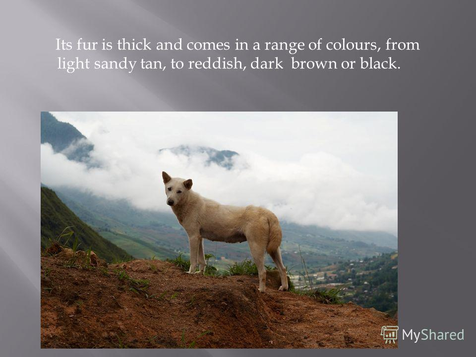 Its fur is thick and comes in a range of colours, from light sandy tan, to reddish, dark brown or black.