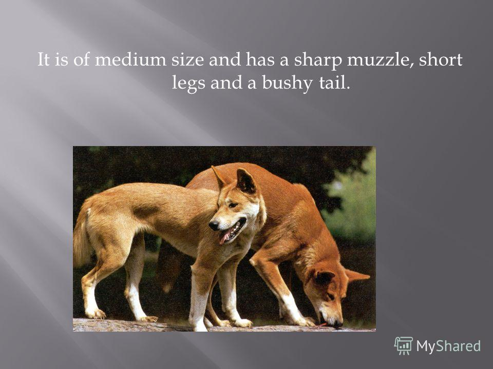 It is of medium size and has a sharp muzzle, short legs and a bushy tail.
