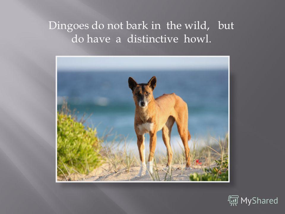 Dingoes do not bark in the wild, but do have a distinctive howl.