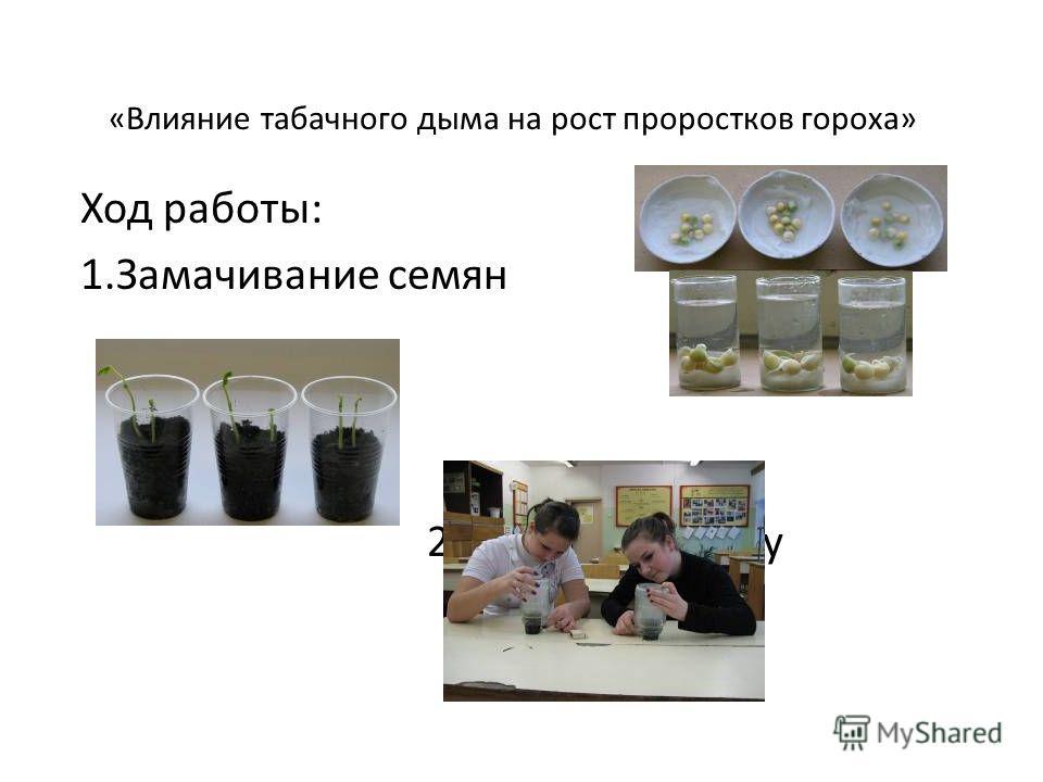 «Влияние табачного дыма на рост проростков гороха» Ход работы: 1.Замачивание семян 2.Посадка в почву 3. Окуривание
