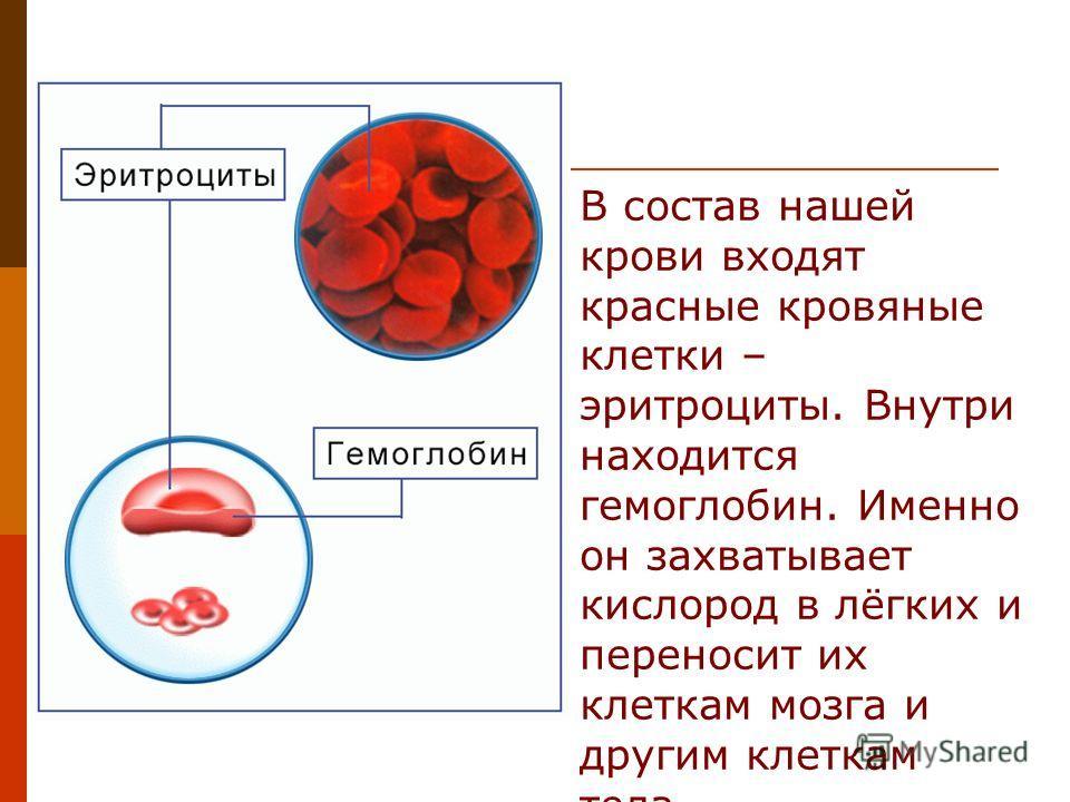 В состав нашей крови входят красные кровяные клетки – эритроциты. Внутри находится гемоглобин. Именно он захватывает кислород в лёгких и переносит их клеткам мозга и другим клеткам тела.
