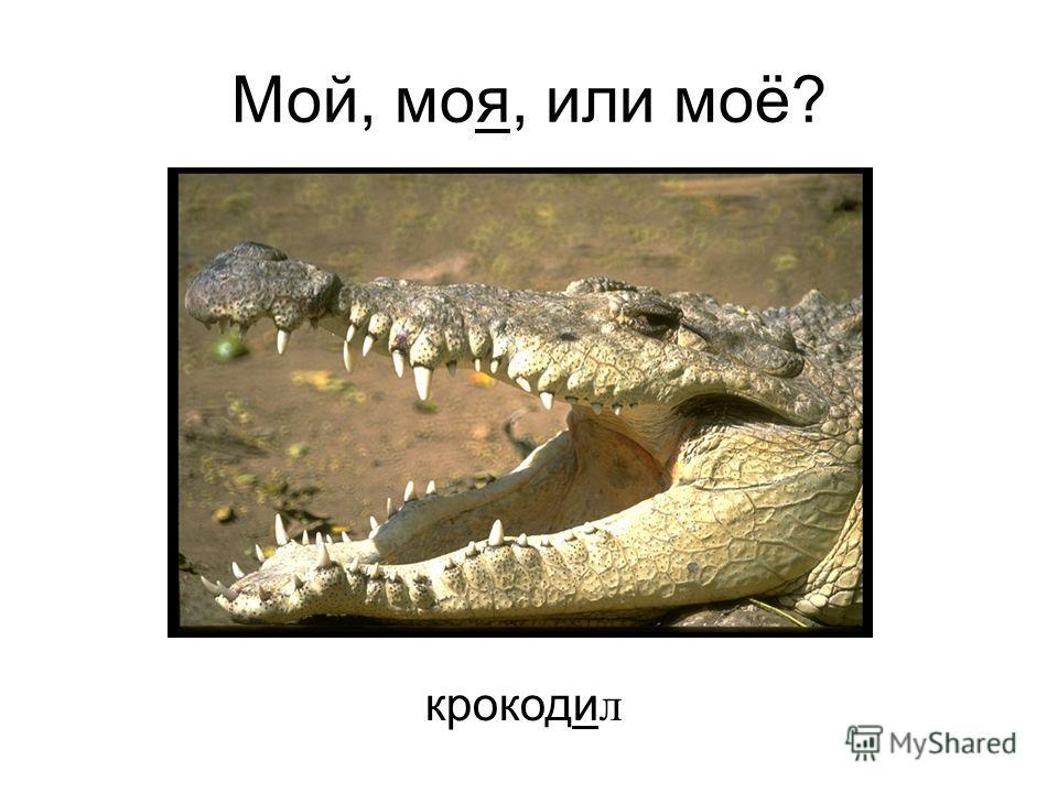 крокоди л Мой, моя, или моё?