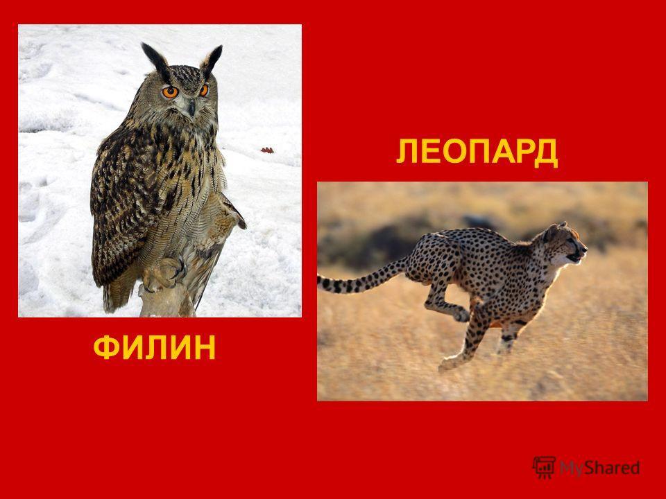 ФИЛИН ЛЕОПАРД