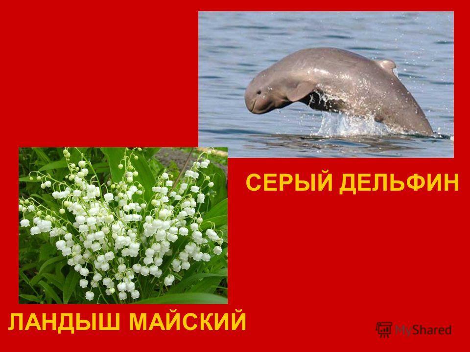 СЕРЫЙ ДЕЛЬФИН ЛАНДЫШ МАЙСКИЙ