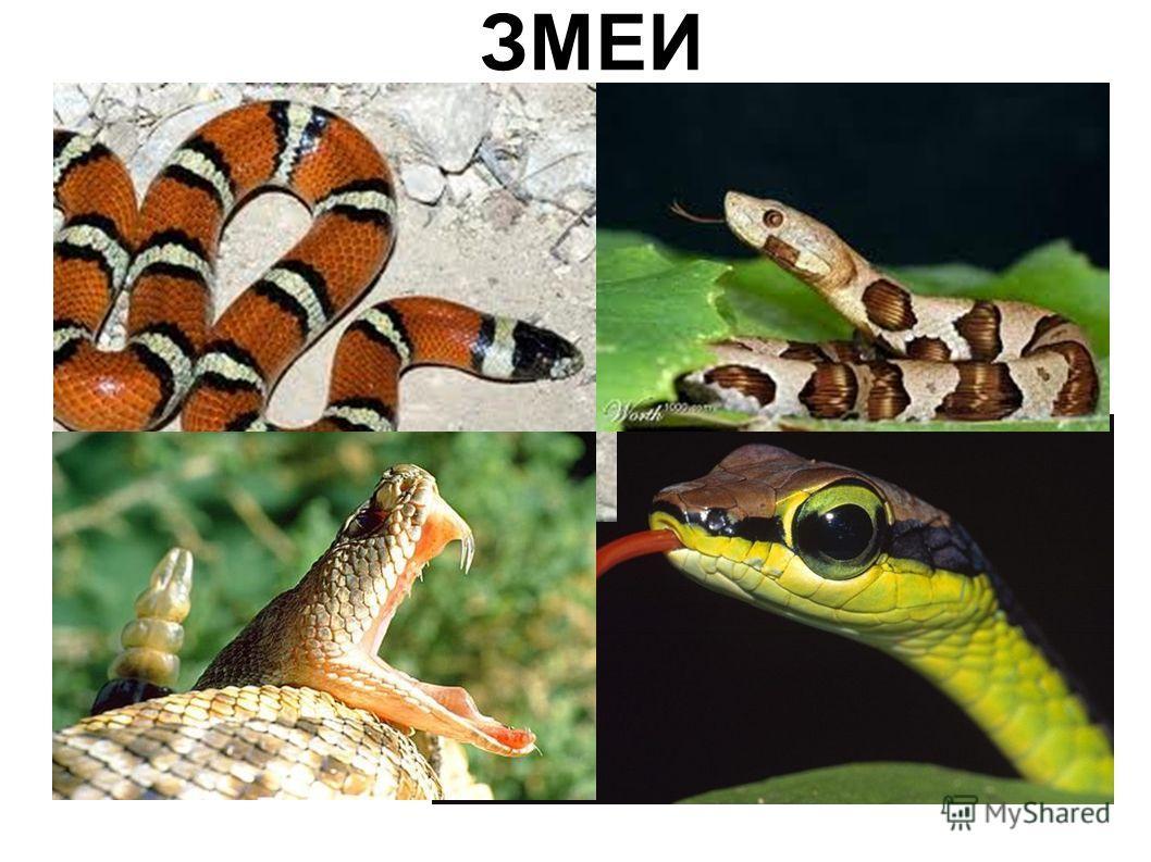 класс рептилии презентация