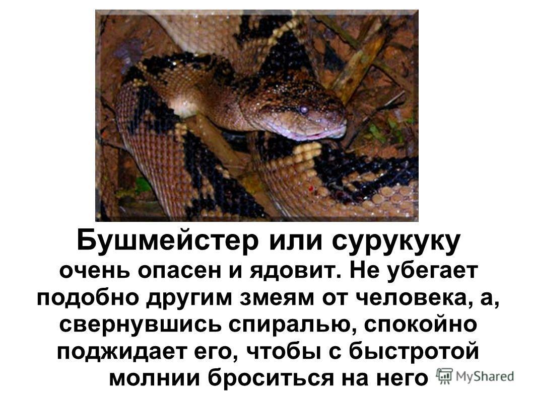 Бушмейстер или сурукуку очень опасен и ядовит. Не убегает подобно другим змеям от человека, а, свернувшись спиралью, спокойно поджидает его, чтобы с быстротой молнии броситься на него